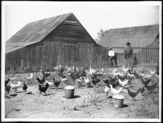 796px chickens in an outdoor pen on a chicken ranch ca 1900 chs 1740